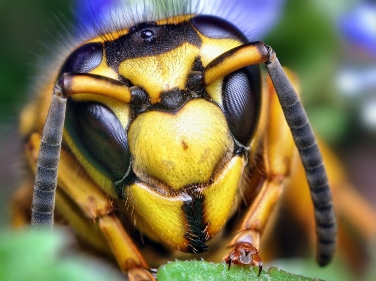 face_of_a_southern_yellowjacket_queen_vespula_squamosa