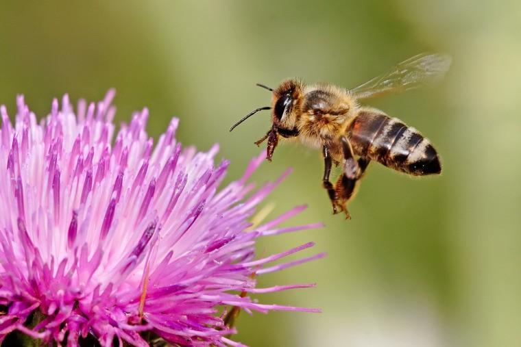honeybee landing on milkthistle