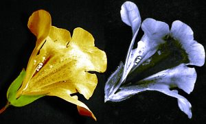 Flower seen with visible light and UV light