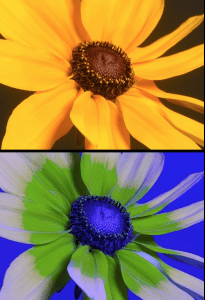 Visible versus ultraviolet lights spectrum of flowers