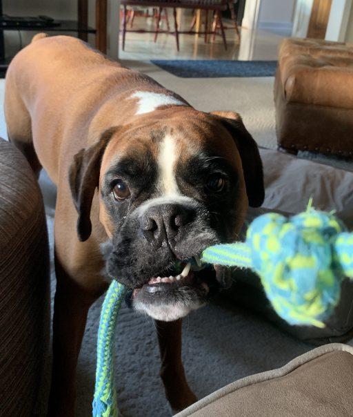 Louie playing tug of war
