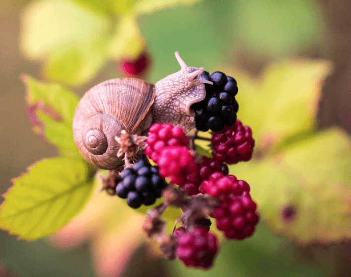 Garden snail eating berries