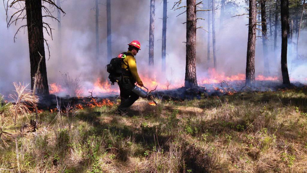 Controlled burn of forest in eastern Washington to restore forest health