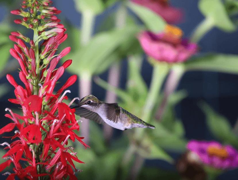Hummingbird on red flowers