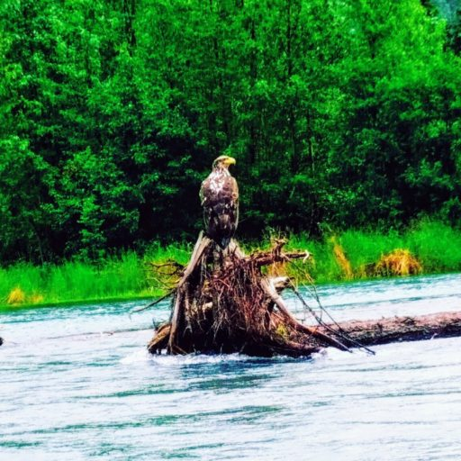 Adolescent eagle on driftwood