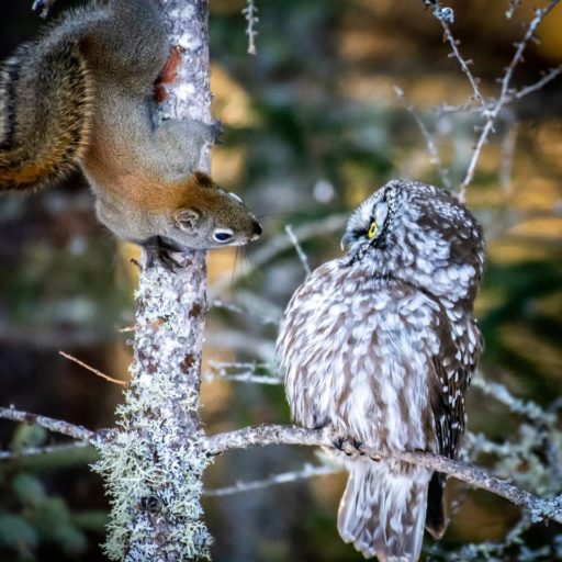 Boreal Owl with squirrel