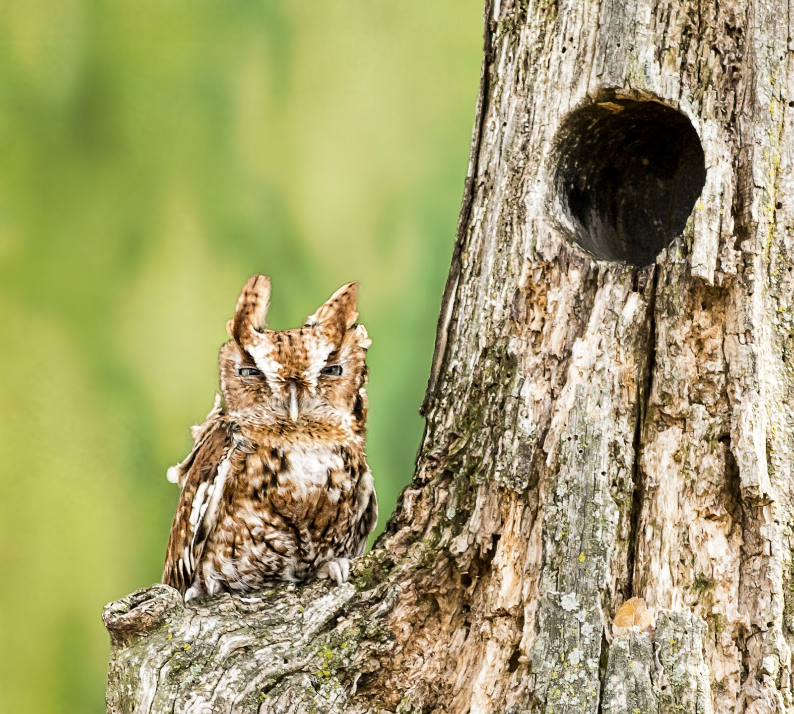 Eastern Screech Owl near cavity in tree