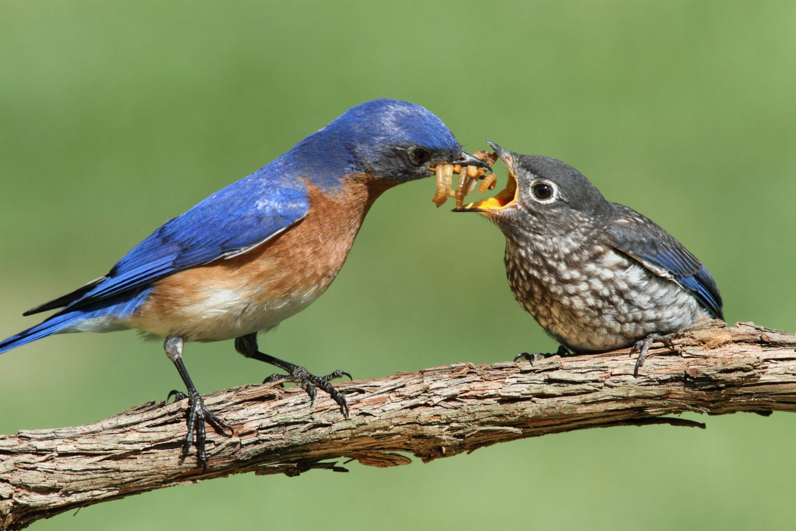 Male Eastern bluebird feeding his baby