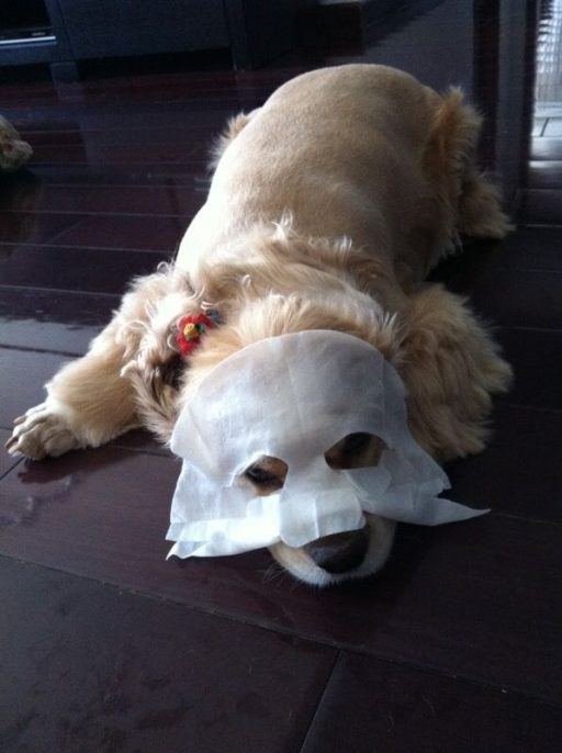 Cocker spaniel with mask