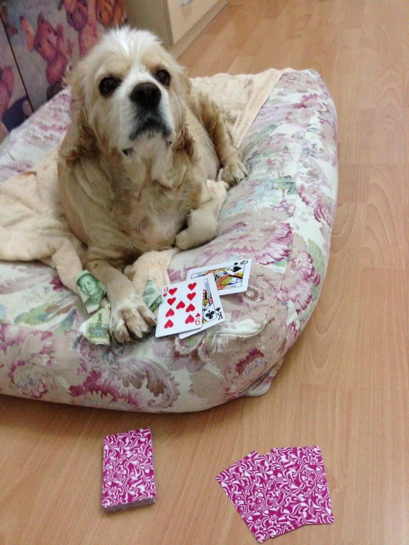 Cocker spaniel playing poker