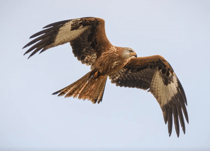 Kite hawk in flight