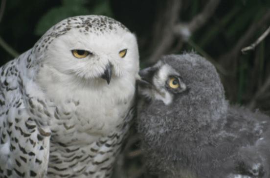 Snowy owl w owlet