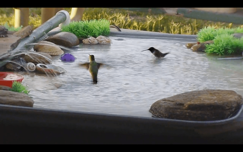 hummingbirds in bird bath
