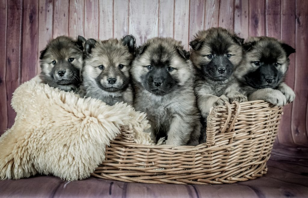 german shepard puppies