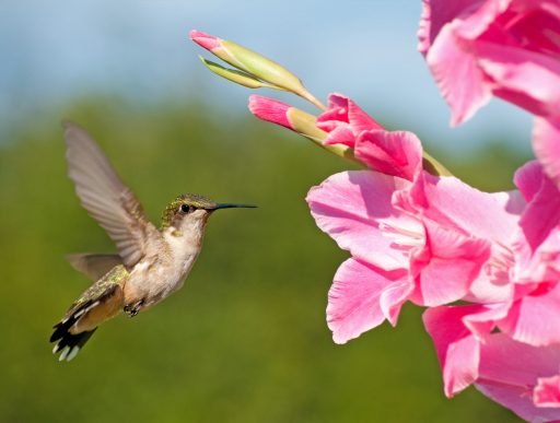 hummingbirds and pink glads