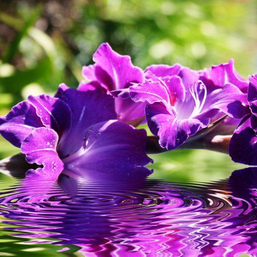 Gladiolus purple w water