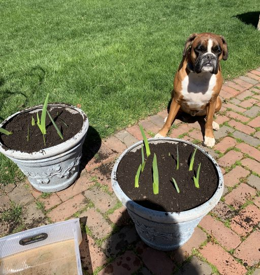 Louie and the potted bulbs