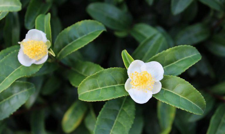 Tea Flowers -camellia sinensis
