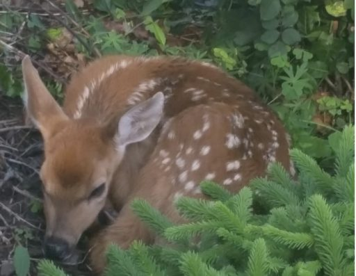 Abandoned fawn