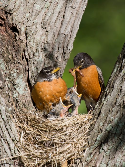 Robins w babies in nest