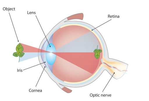 eye anatomy author website