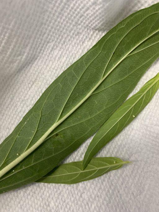 Monarch eggs on milkweed