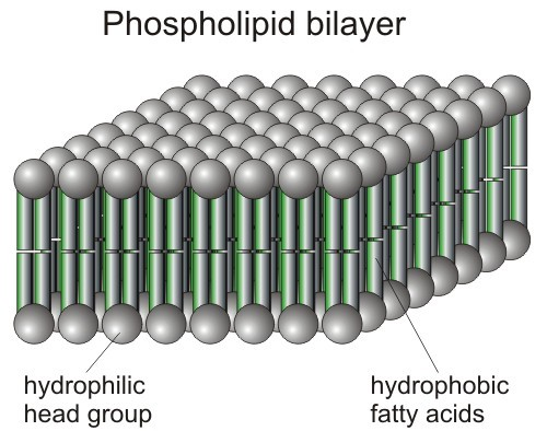 phospholipid_bilayer