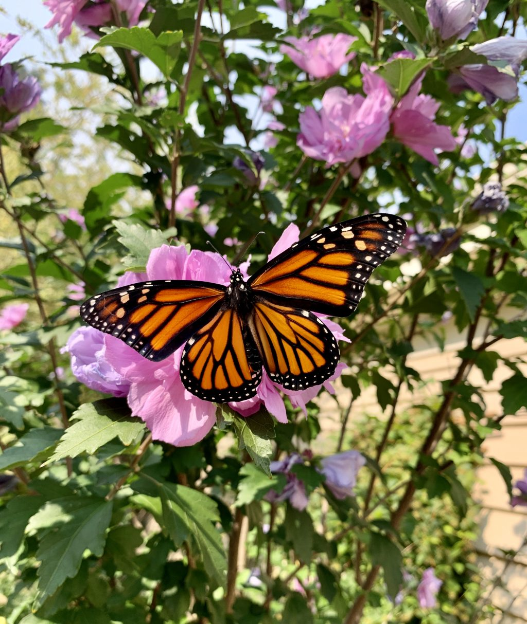 First female monarch from egg on Rose of Sharon