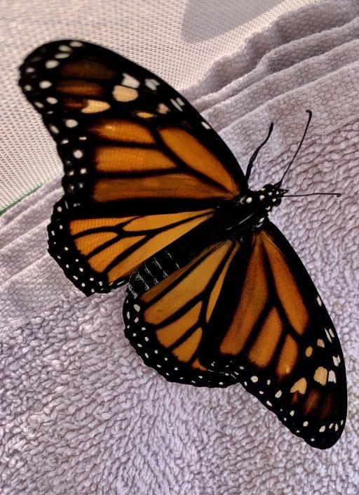 Last lovely monarch baby girl