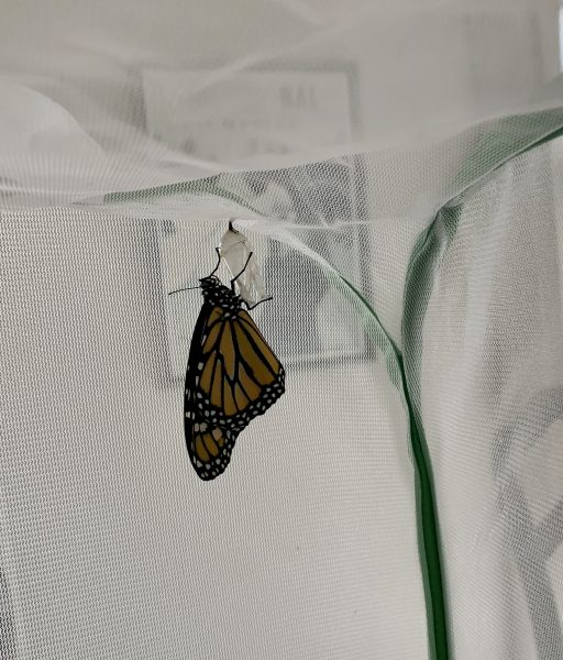 My first butterfly is born