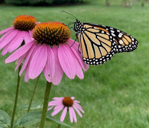 Monarch on coneflower Susan Berk Koch
