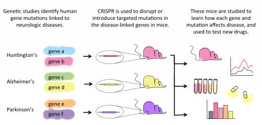 CRISPR for studying diseases