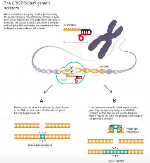 CRISPR genetic scissors