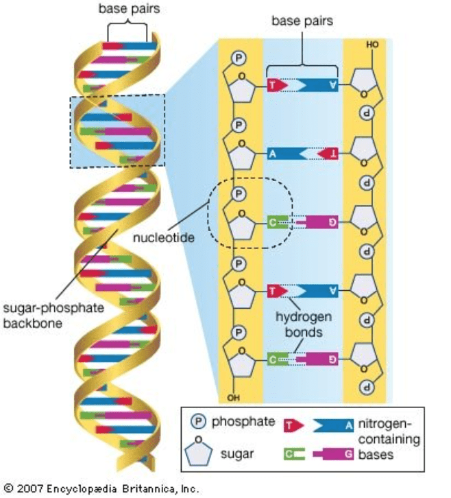 base pairs hold DNA strand together