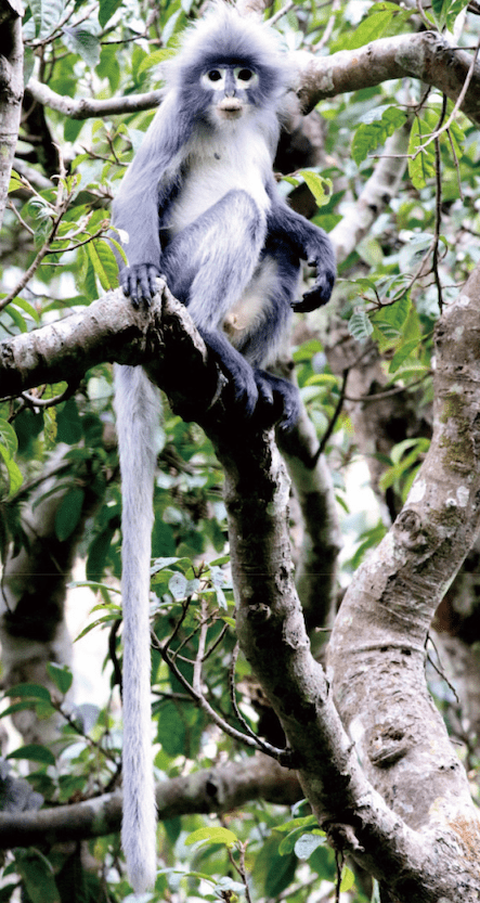 Endangered primate popa langur