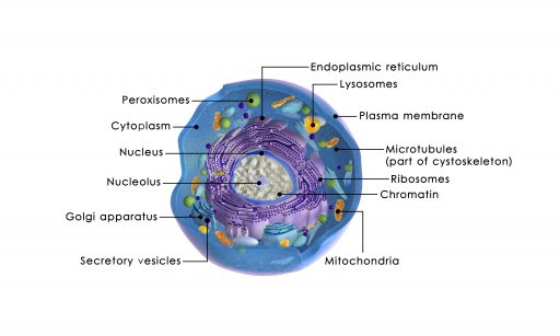 Animal cell with mitochondria