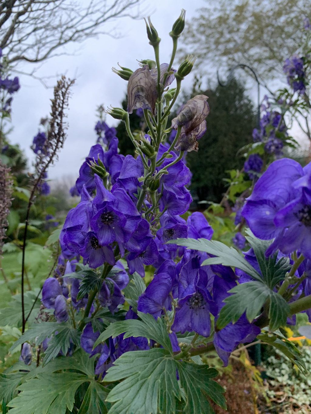 Monkshood Fall blooming flowers