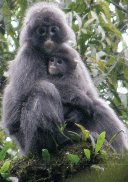 Popa Langur new species endangered