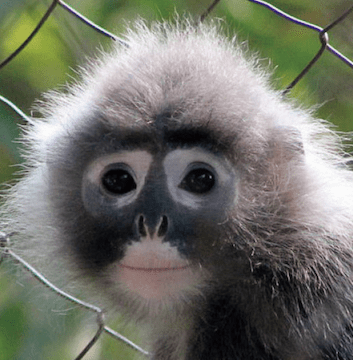 Trachypithecus popa Popa langur new species