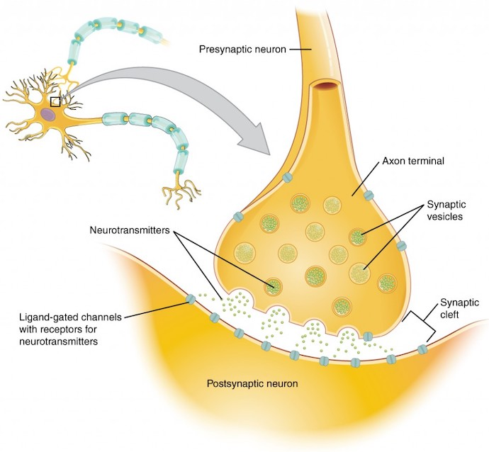 Neurotransmitters dopamine