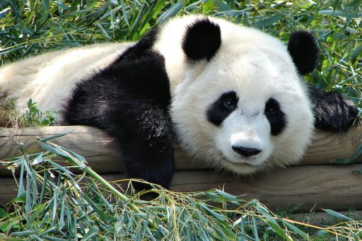 Giant Pandas don't have the umami receptor