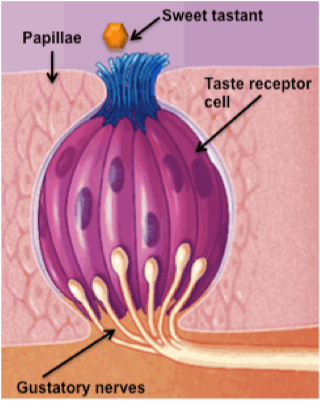 Taste Receptor on tongue