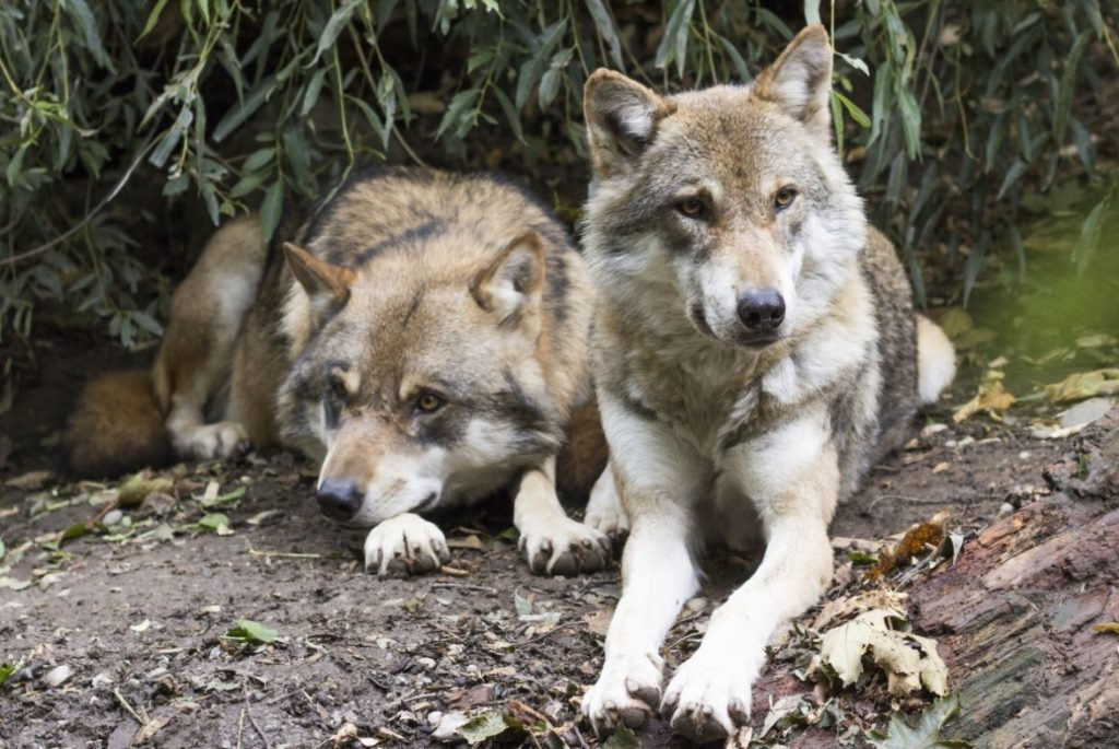 canis lupis why we need wolves!