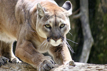 Cougars does culling work?