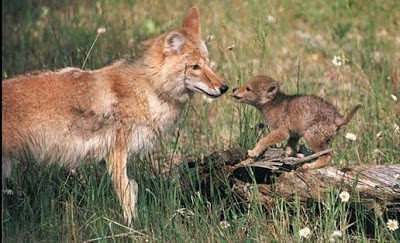 Coyote litter size increases with culling
