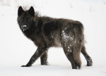 Why We Need Wolves
