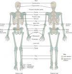 216 bones in the human body