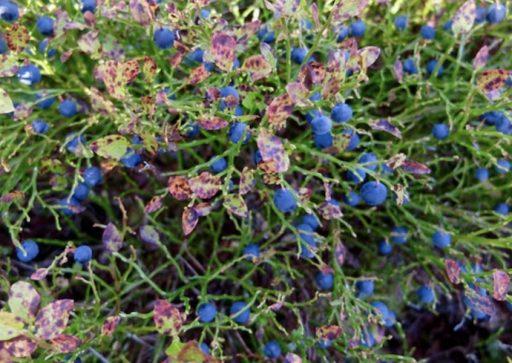 Bilberry bush antioxidants