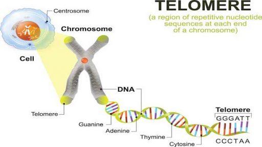 LIVE LONGER Science blog Sue Berk Koch Telomere