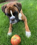 Louie loves apples Is fruit good for you